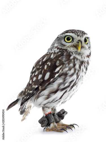Papiers peints Chouette Brown white young Little Owl, standing side ways Looking beside camera with head tilt and yellow eyes. Isolated on white background.