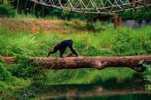 Chimpanzees Walking In The Zoo