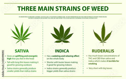 Three Main Strains of Weed horizontal infographic - Buy this