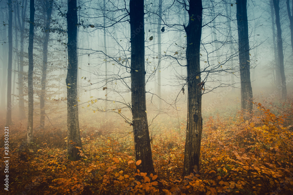 Fototapety, obrazy: mysterious autumn woods, trees with bare branches and colorful fallen leaves in forest landscape