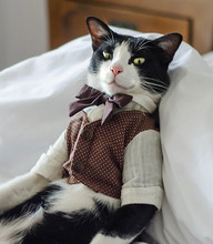 Gentleman Tuxedo Cat Is Sitting On The Bed Dressed In Stylish Outfit