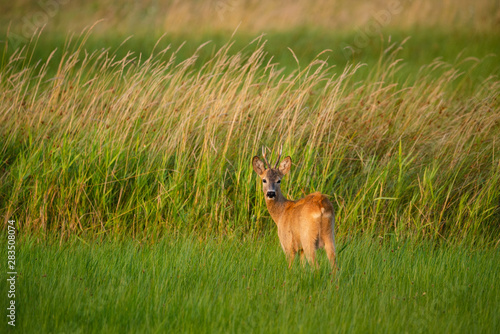 Deurstickers Ree Roe deer buck on a field