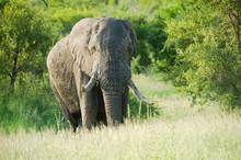 Large African Elephant Amongst Green Bush