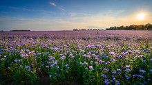 Field Of Phacelia In Northumbe...