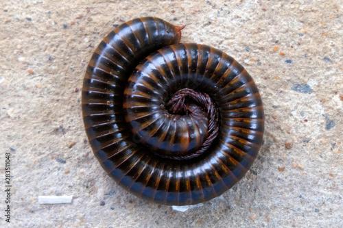 Asian giant millipede close up Tapéta, Fotótapéta
