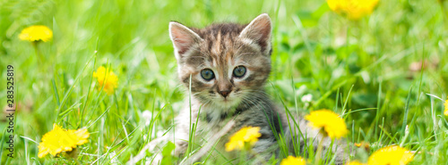 Cuadros en Lienzo Cute kitten in green grass - banner - web header template - website simple desig