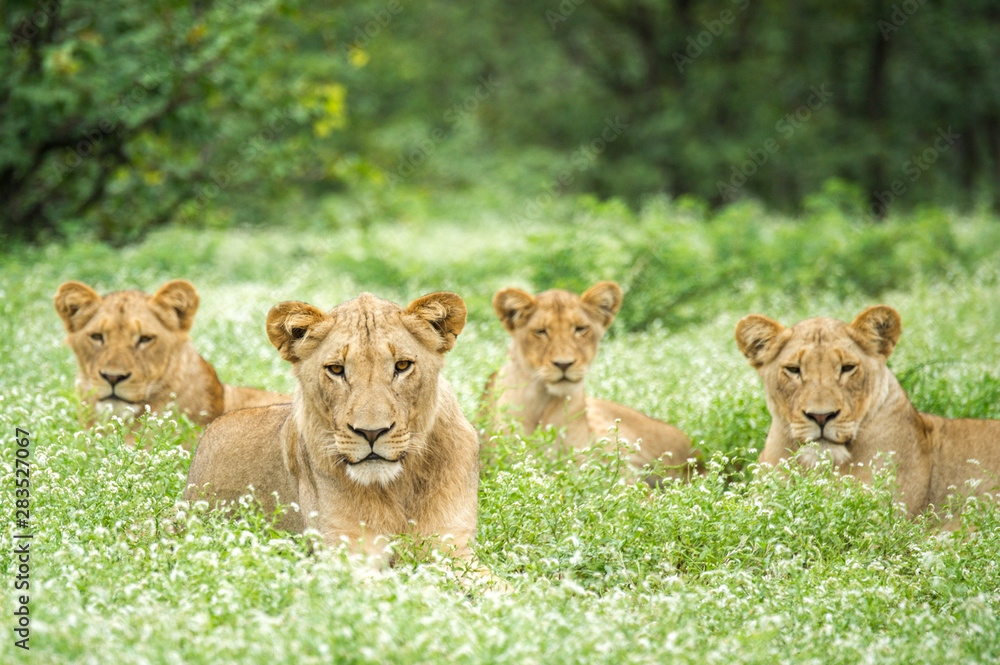 Fototapeta Pride Of Lions Lying Down In Grass