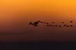 Przelatujące łabędzie nad Wisłą. Zachód słońca