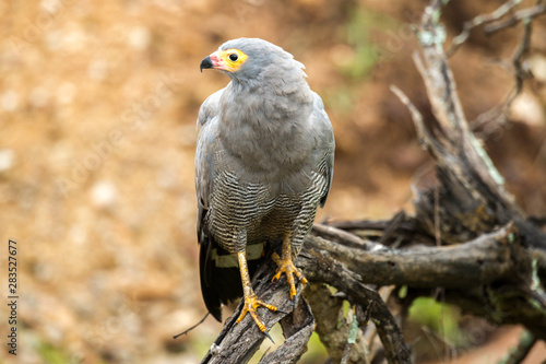 African Harrier Hawk On A Branch Canvas Print