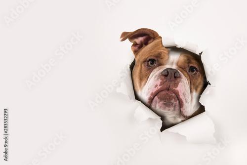 Portrait of an old english bulldog peeking through a hole in a white paper backg Canvas Print