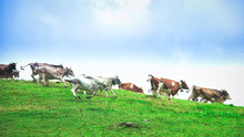 Group Of Cows Running Downhill...