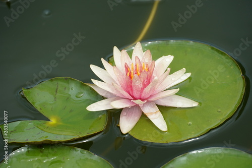 Wall Murals Water lilies pink water lily in pond