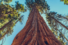 Giant Redwood Pines Sequoia Tr...