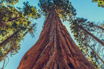 Divovski borovi sekvoje borovi sekvoja, Nacionalni park Sequoia, Kalifornija, SAD