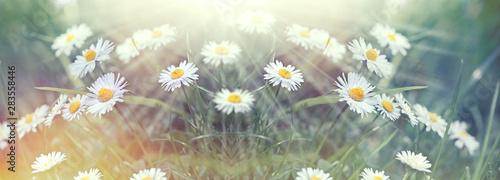 Vászonkép Beautiful daisy flower in meadow,  beautiful nature,  beauty in nature