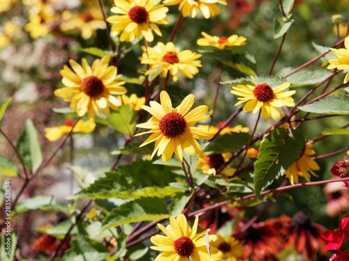 Heliopsis helianthoides - Faux-hélianthe ou faux-tournesol Tapéta, Fotótapéta