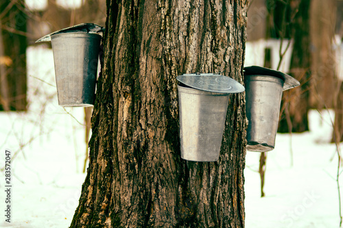Photo Maple syrup tap  process