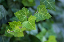 Hedera Helix Detail Of Green Leaves, Poison Ivy Evergreen Plant, Green Foliage On Branches