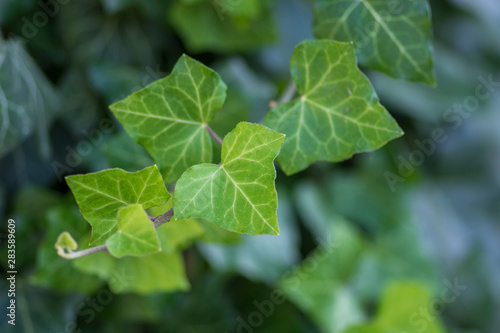 Fotografia Hedera helix detail of green leaves, poison ivy evergreen plant, green foliage o