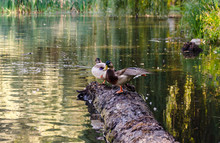 Wild Ducks Sit On A Log In The...