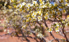 Desert Plant With White And Yellow Color Flowers, Creosote Bush Or Larrea Tridentata