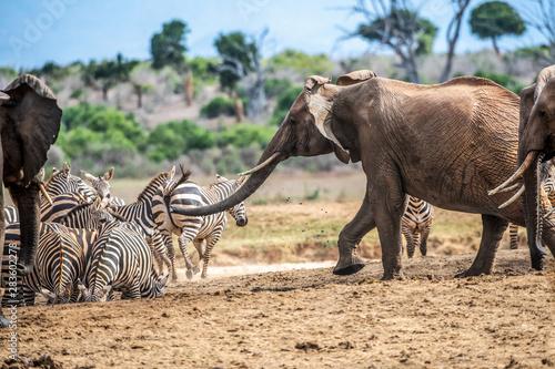 Poster Elephant African bush elephant - Loxodonta africana - Afrikaanse savanne olifant