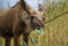 Young Moose Calf Eating Leaves...