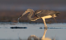 Tricolored Heron In Florida