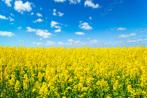Poster Jaune Landscape view of flowering rape field under blue cloudy sky. Colorful rapsfield raps. Swedish ukrainian colors
