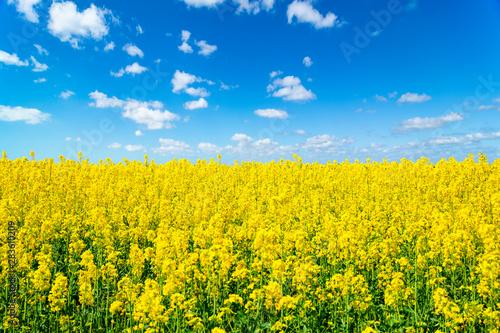 Foto auf Leinwand Gelb Landscape view of flowering rape field under blue cloudy sky. Colorful rapsfield raps. Swedish ukrainian colors