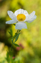 Romneya Coulteri, The White Flower At The Green-yellow Background