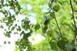Leinwandbild Motiv Pear tree with fruits on sunny day