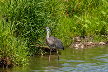 Juvenile Great Blue Heron In Natural Environment