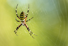 Yellow Striped Spider Outside In Green Nature In Her Spider Web. Argiope Bruennichi Also Called Zebra, Tiger, Silk Ribbon, Wasp Spider In Front Of Blurred Background