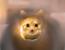 Red Kitten Looking Through A P...
