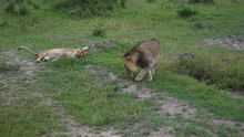 Couple Of Lions In The Savanna...