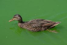 Pato En Lago Contaminado 02