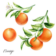 Isolated Two Oranges On A Branch. Watercolor Illustrartion Of Citrus Tree With Leaves And Blossoms.