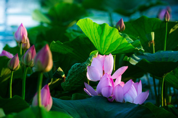 Obraz na Szkle Kwiaty Chinese lotus in full bloom.