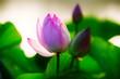 Chinese lotus in full bloom.