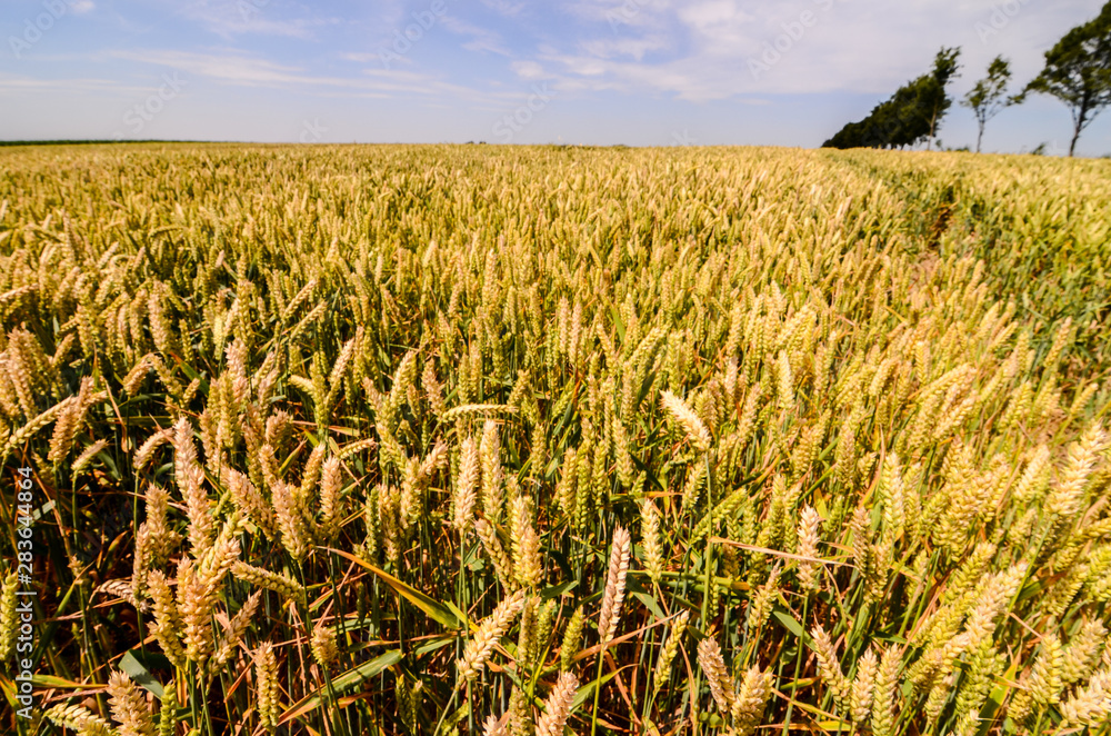 Fototapety, obrazy: Textured Wheat Field