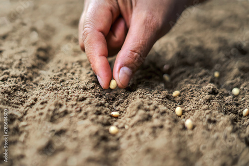 Fototapeta hand planting soy seed in the vegetable garden. agriculture concept obraz