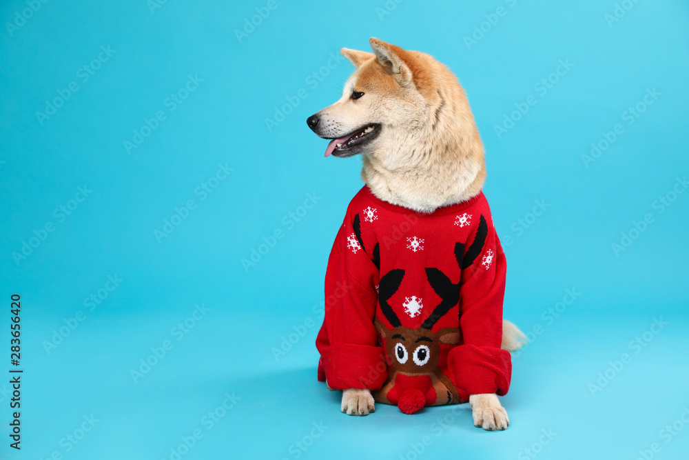 Fototapety, obrazy: Cute Akita Inu dog in Christmas sweater on blue background. Space for text
