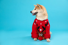 Cute Akita Inu Dog In Christma...