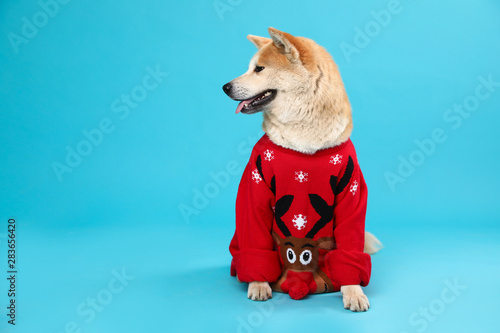 Foto op Plexiglas Hond Cute Akita Inu dog in Christmas sweater on blue background. Space for text