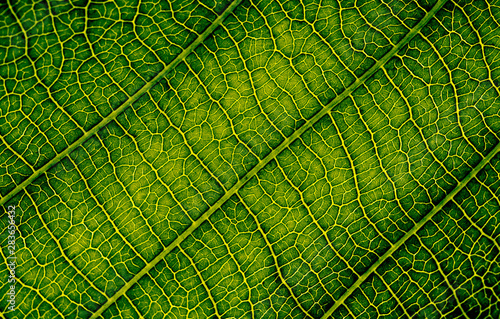 nature texture closeup leaf veins high detail of macro on green plant leaves with chlorophyll cell texture background