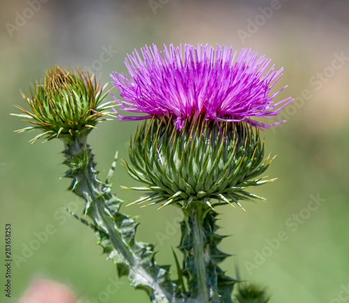Photo Thistle plant thistle flower in nature close up