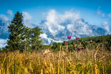 Musk Thistle With Cloud-Covere...