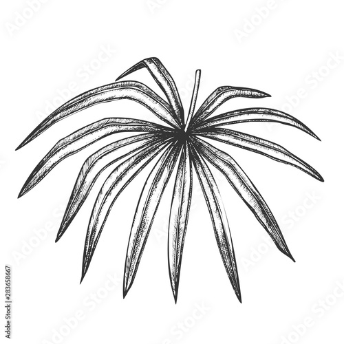 Thrinax Radiata Exotic Leaf Hand Drawn Vector. Detail Of Cultivated Palm Floral Leaf. Element Of Beautiful Nature Botanical Herb Designed In Vintage Style Black And White Illustration Wall mural