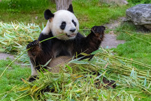 Giant Panda, Bear Panda Eating Bamboo Sitting In The Grass